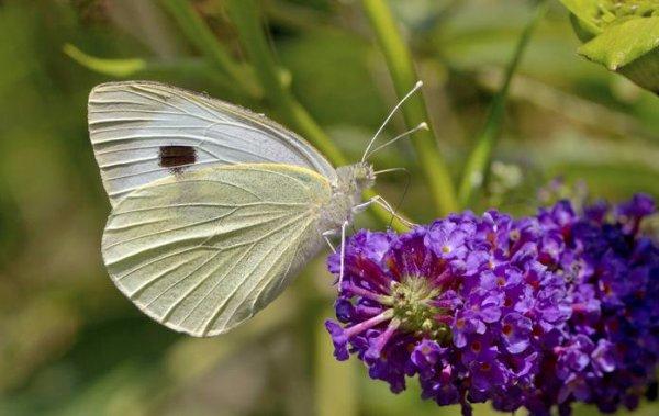 Бабочки капустницы откладывают яйца на стороне листьев