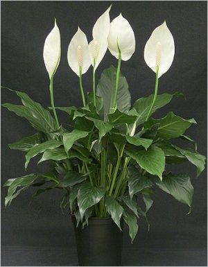Не цветет спатифиллум