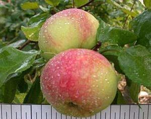 сорт, яблоня, подмосковья, данного вида