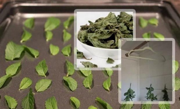 Как сушить листья мяты
