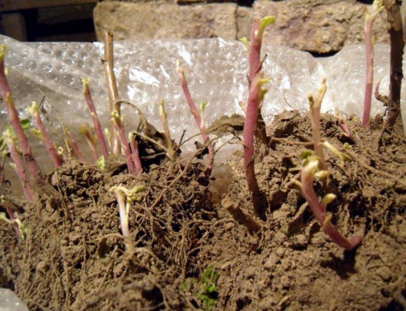 Пересадка хризантемы осенью