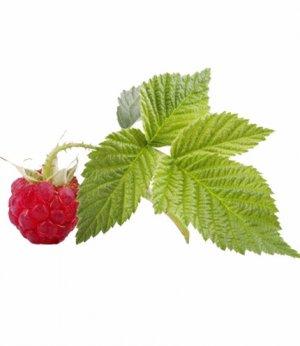 листья малины полезные свойства и противопоказания