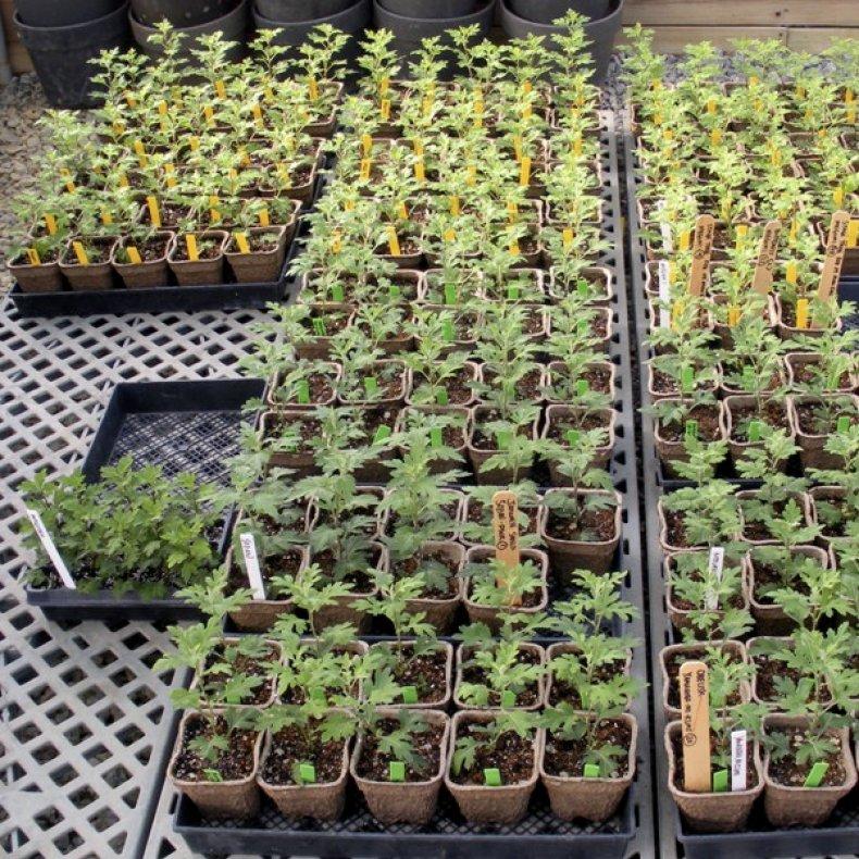 Посев хризантем