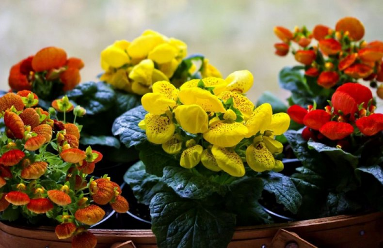 цветок, кальцеолярия, уход, домашний, 10-14 дней