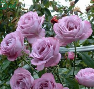 Голубая роза «Блю Парфюм»