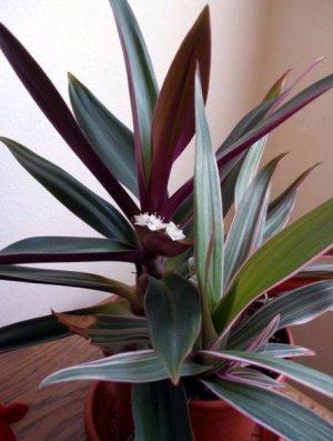 Рэо цветок уход в домашних условиях