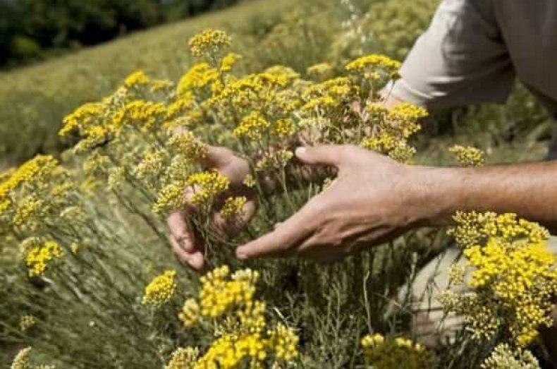 трава, бессмертник, польза, противопоказание, горячей воды, Цмин песчаный
