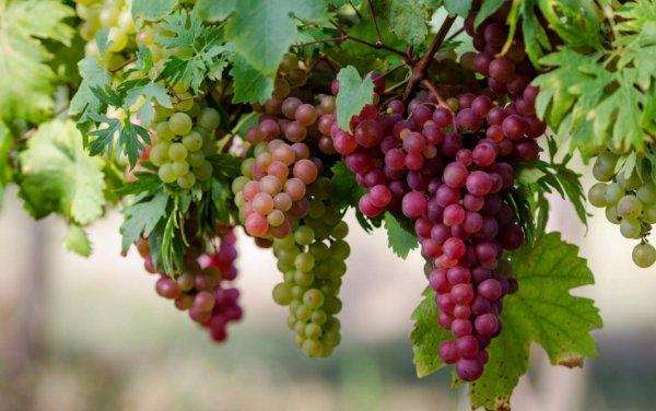 Правильная пересадка взрослого винограда осенью