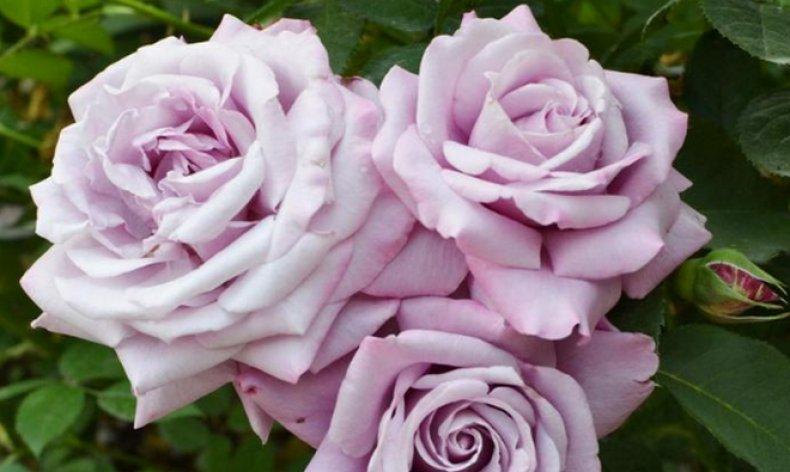 Голубая роза «Блю Парфюм