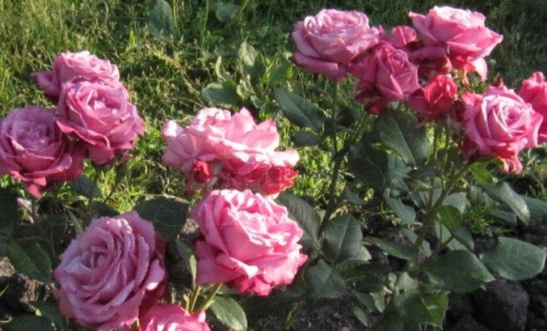 Голубая роза Блю Парфюм