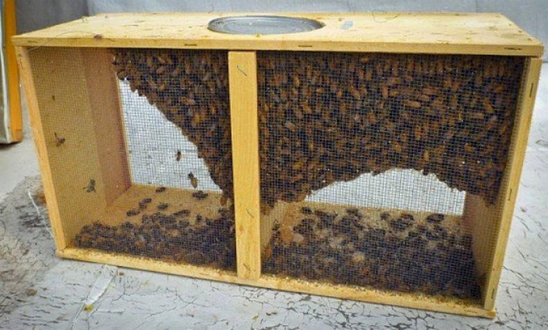 пчелопакеты, пересадить, пчела, улей, пересадить пчел