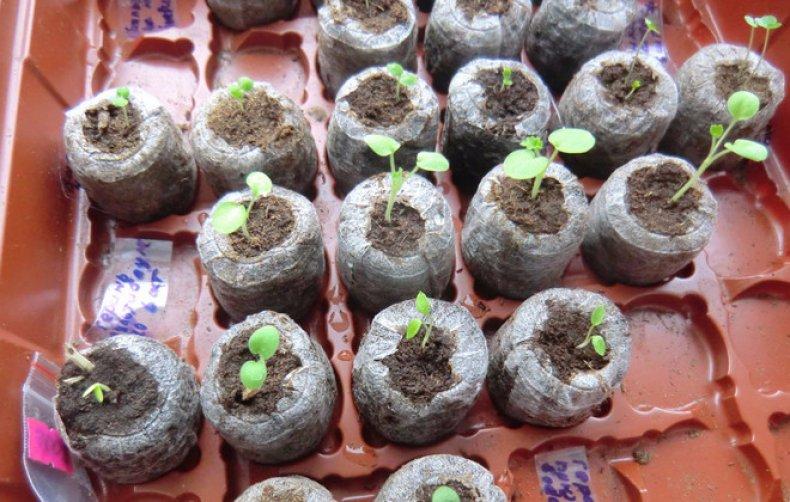 пеларгония из семян уход в домашних условиях