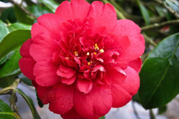 Камелия цветок сортов