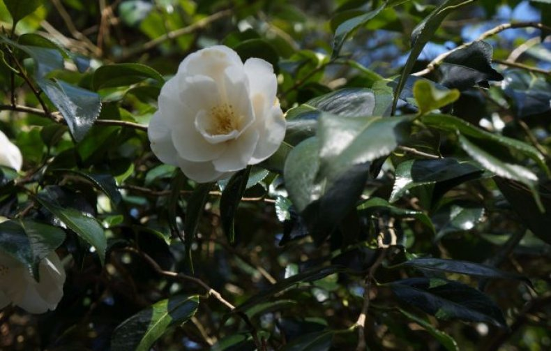 Camellia x williamsii China Clay