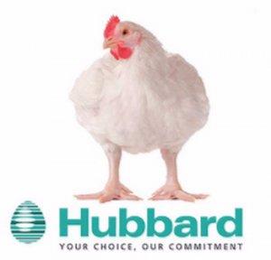 Бройлеры породы Хаббард: описание, фото, характеристики, выращивание