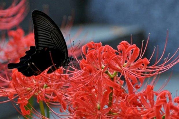 Паучья лилия цветок значение