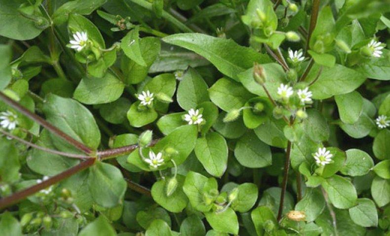 мокрица трава фото полезные свойства