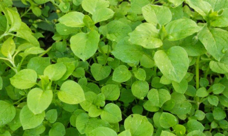 трава, мокрица, фото, описание