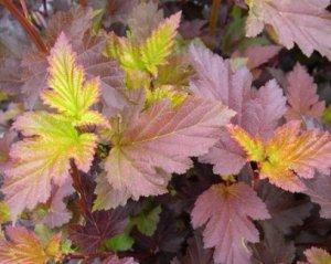 Листья пузыреплодника