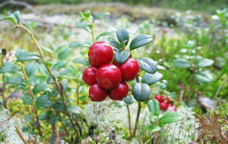 Брусника полезные свойства и применение ягод и листьев