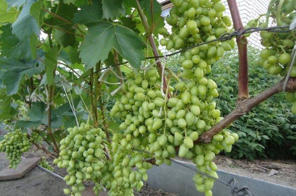 Выращивание винограда оквэд 64