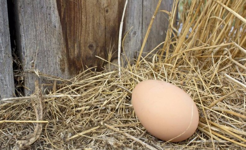 Курица не несется в гнезде