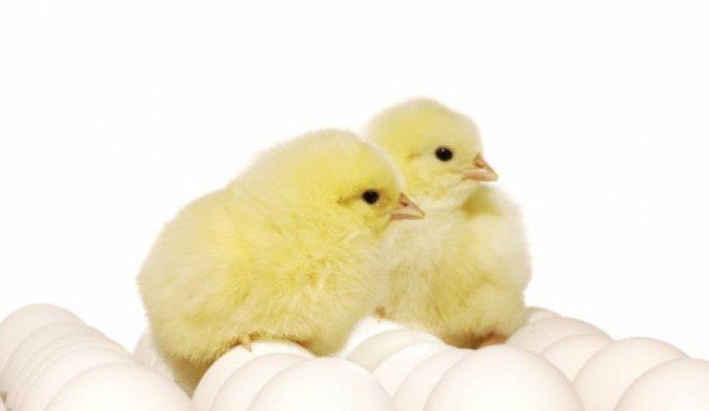 хайсекс, описание, содержание, кормление, фото, большие яйца