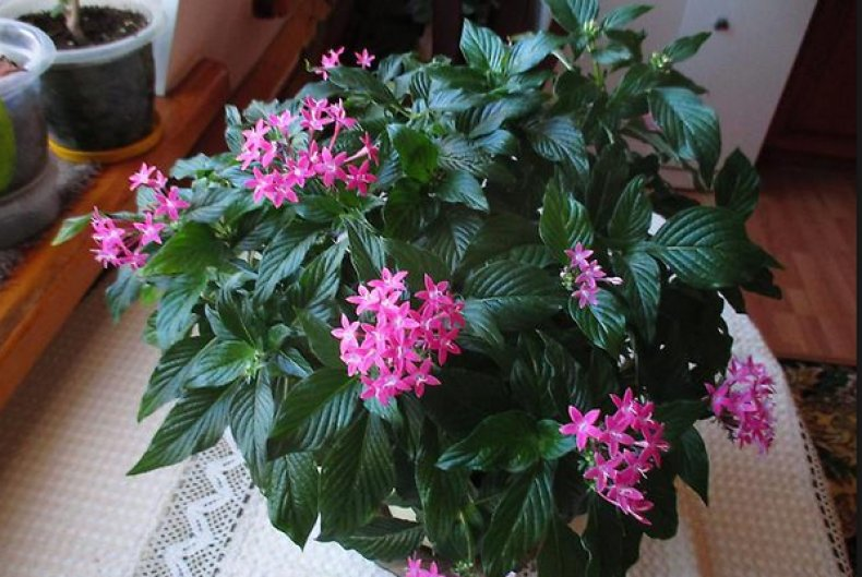 цветок, пентас, выращивание, уход