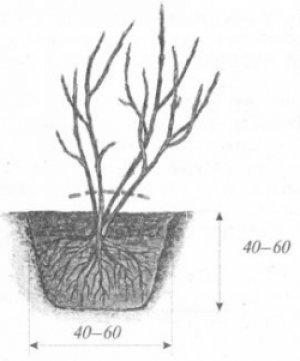 Глубина ямы для посадки смородины