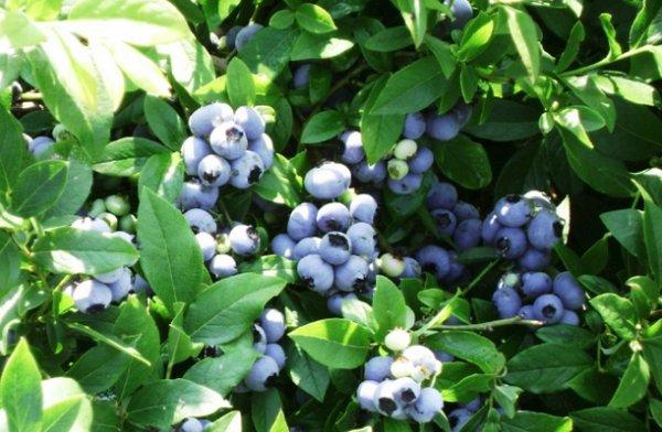 Голубика Патриот высокоурожайный и морозостойкий сорт