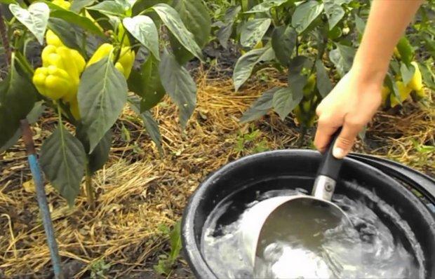 Как сделать подкормку из дрожжей для перца