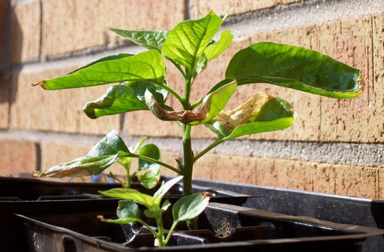 почему рассада перца сбрасывает листья