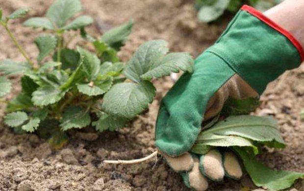 Чем осенью обработать клубнику