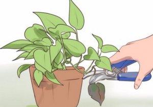 Размножение плюща