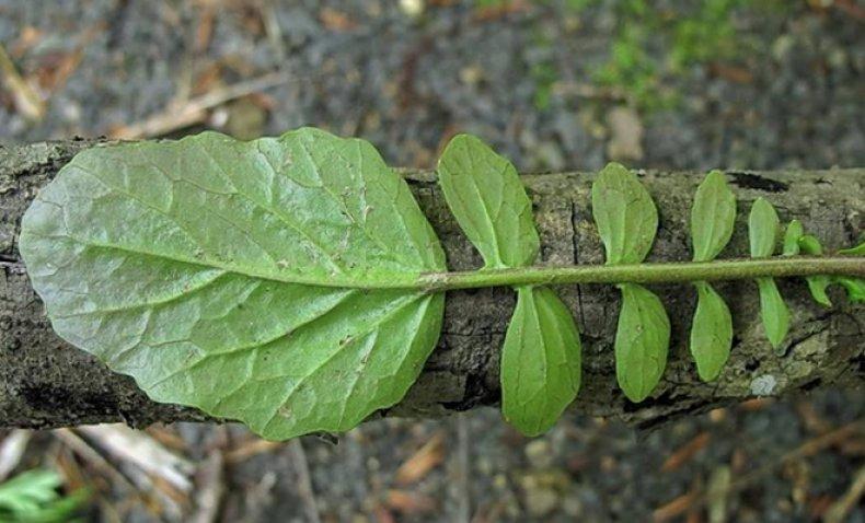 Растение сурепка