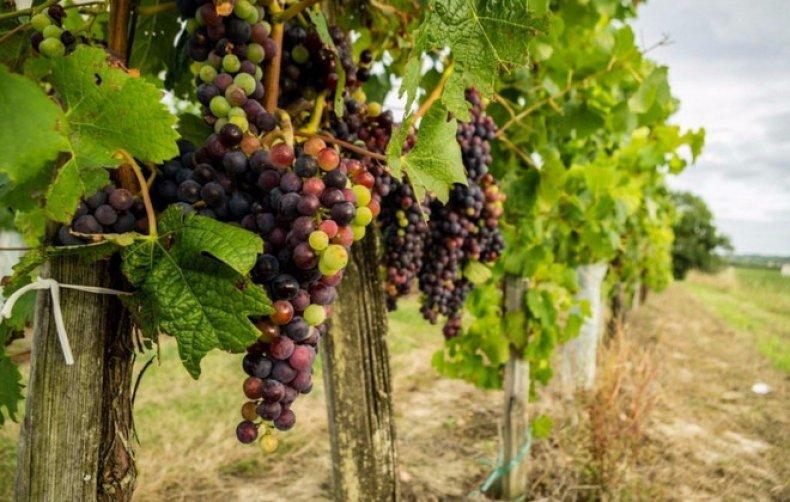 хлороз, виноград, профилактика, лечение