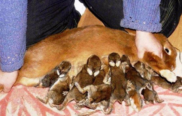 Как выкормить крольчат без крольчихи: искуственное кормление новорожденных кроликов
