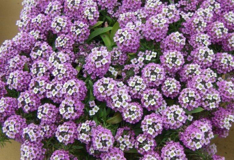 «Фиолетовая королева»