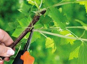 Обрезка смородины важна для хорошего урожая