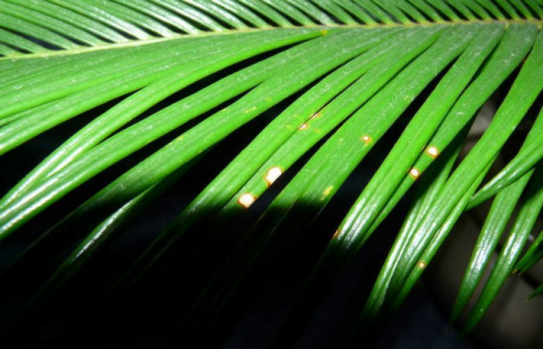 Светлые пятна на листьях