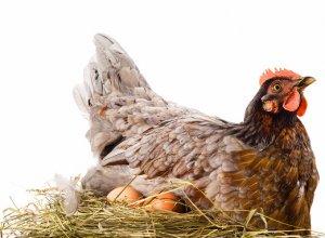 Курица несет мелкие яйца