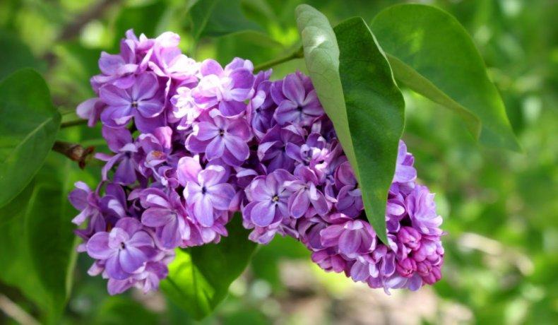 Цветы и листья сирени