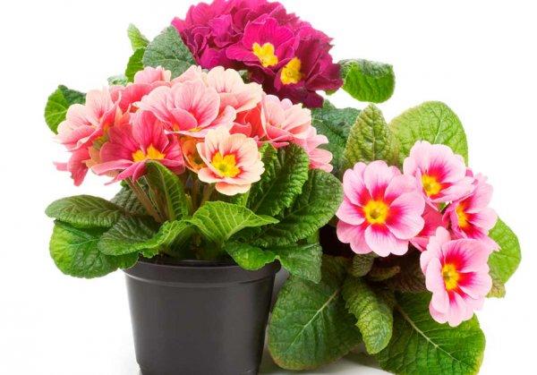 Уход за примулой комнатной в домашних условиях: выращивание и полив