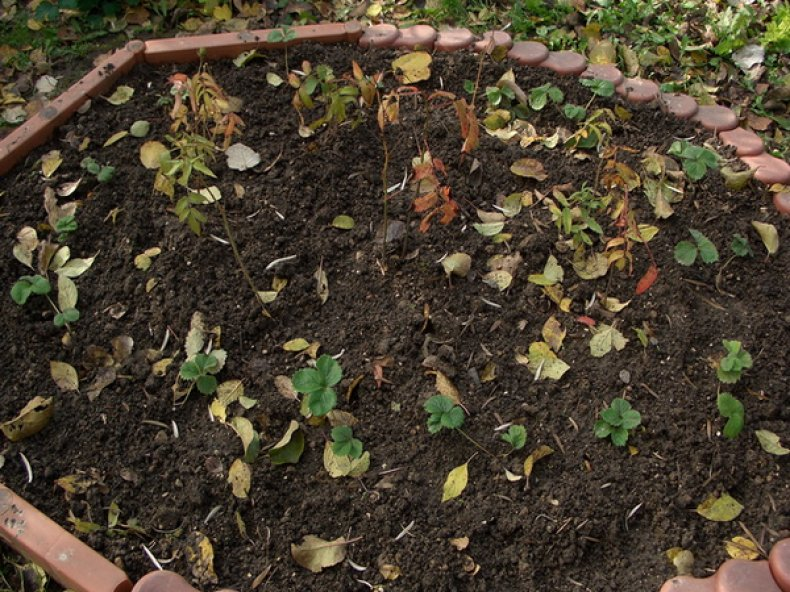 Зимовка розолистной малины