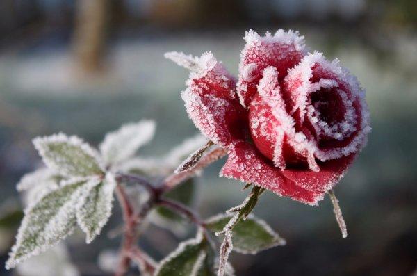 Утепление роз укрывным материалом