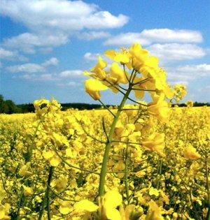Выращивание ярового рапса в украине 96