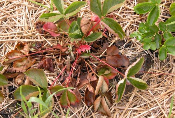 Болезни клубники и садовой земляники, описание заболеваний, как отражаются болезни клубники на листьях, ягодах, лечение химическими препаратами и народными средствами