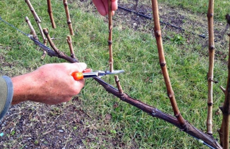 Обрезка лоз винограда