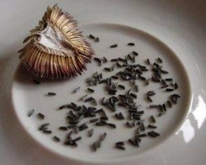 Сбор семян рудбекии