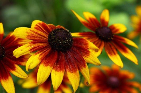 Особенности посадки выращивания и ухода рудбекии многолетней